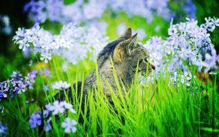 Бесплатные фото кошка,серая,морда,уши,шерсть,трава,цветы