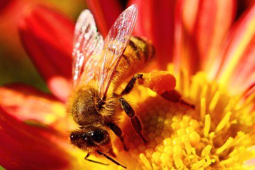 Картинки на заставку макро, пчела бесплатно