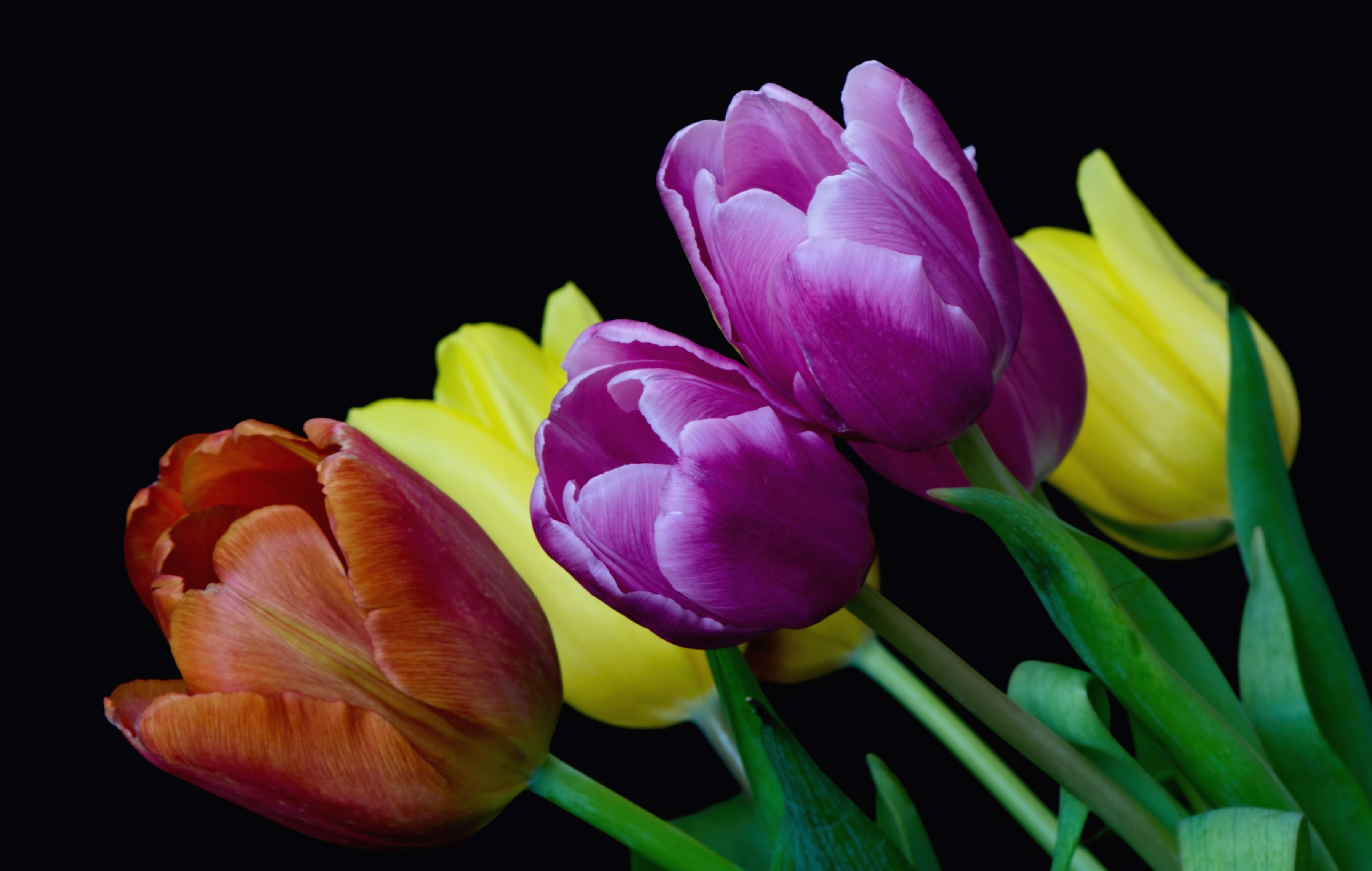 Обои бутоны, тюльпаны, разноцветный