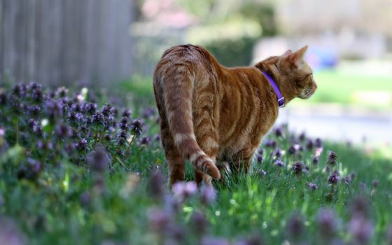 Фото бесплатно рыжий кот, травка, забор