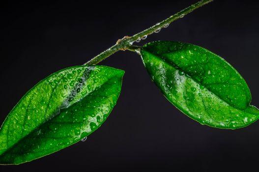 Фото бесплатно ветка, листья, капли
