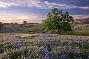 Бесплатные фото закат, поле, дерево, цветы, люпин, пейзаж