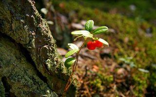Заставки камень, валун, ветка, листья, ягода, красная