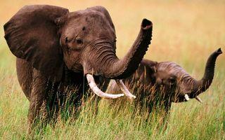 Бесплатные фото слониха,слоненок,хоботы,бивни,уши,трава