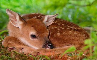 Бесплатные фото олененок,морда,уши,шерсть,окрас,пятна,трава