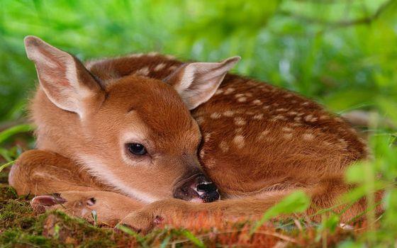 Фото бесплатно олененок, морда, уши, шерсть, окрас, пятна, трава