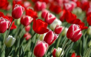 Photo free tulips, white, red