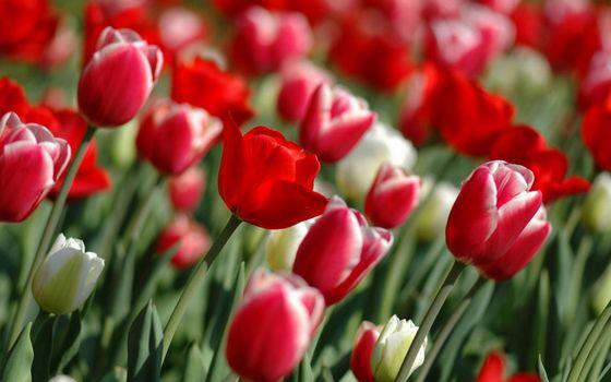 Фото бесплатно тюльпаны, белые, красные