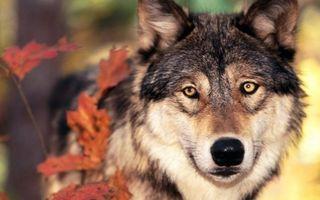 Заставки волк, морда, глаза, шерсть, листья, сухие