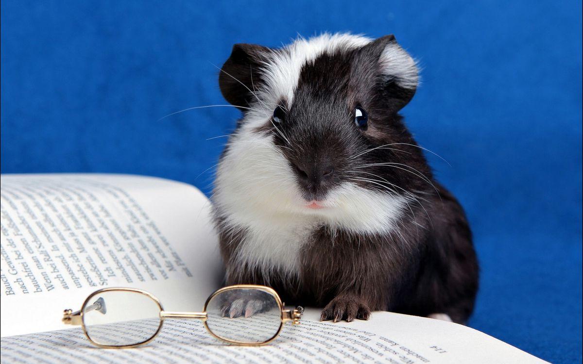 Фото бесплатно хомяк, ученый, очки, книга, чтение, животные