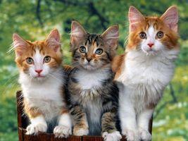 Фото бесплатно котята, пушистые, морды