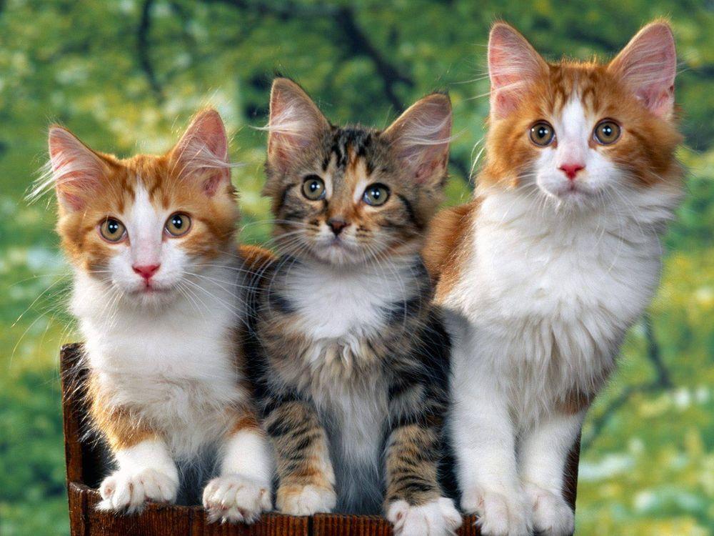 Фото бесплатно котята, пушистые, морды, уши, глаза, лапы, шерсть, кошки