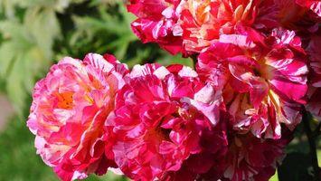 Бесплатные фото цветы,лепестки,розовые,листья,зеленые