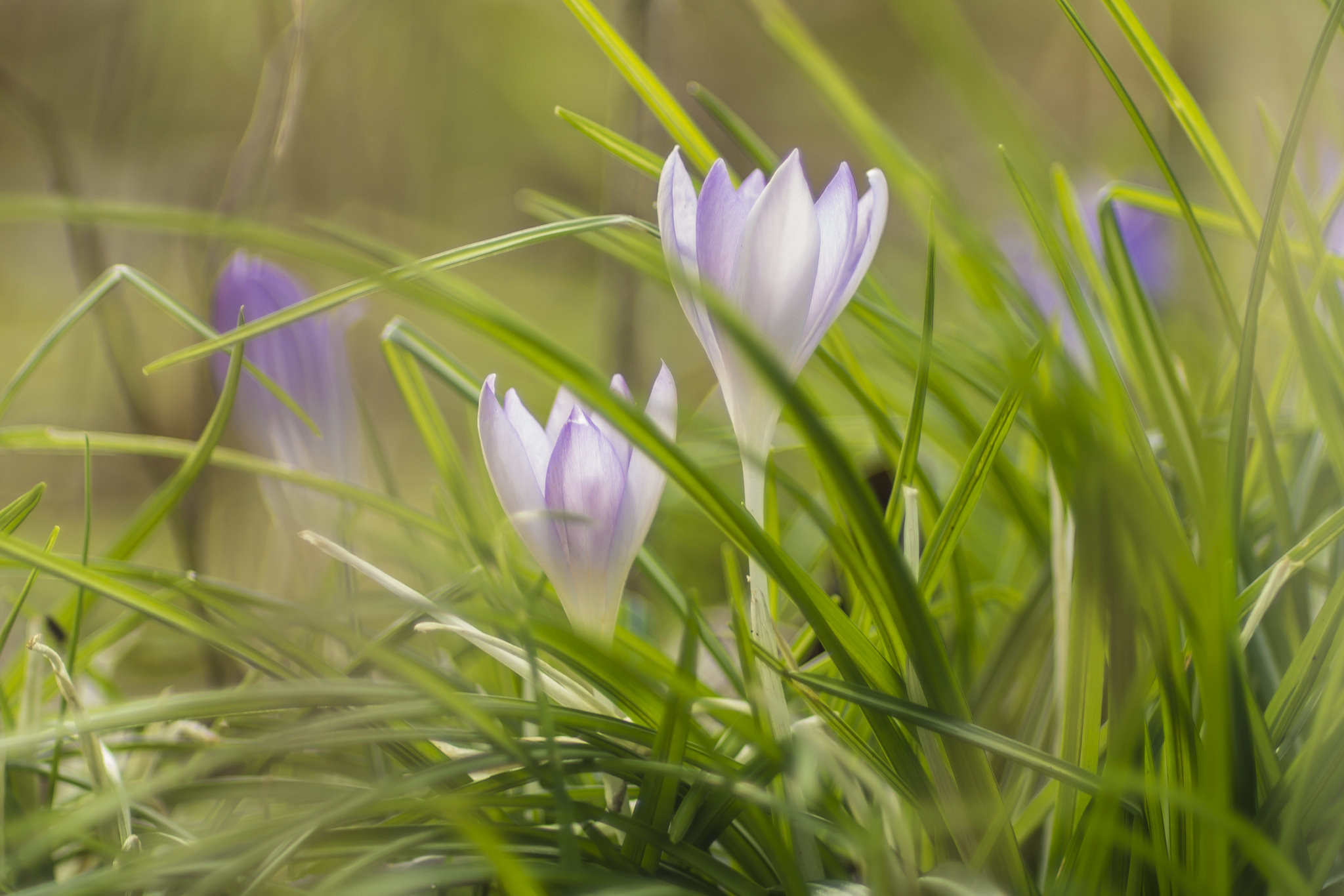 крокусы, цветы, флора