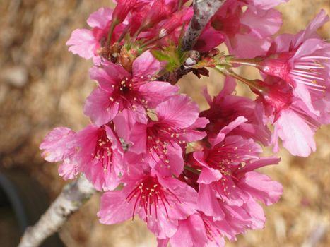 Photo free pink flowers, spring, sakura