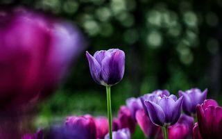 Фото бесплатно тюльпаны, поле, фиолетовые