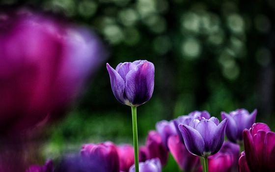 Заставки тюльпаны, поле, фиолетовые