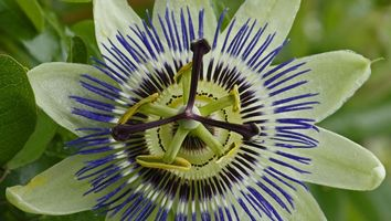 Фото бесплатно Passiflora, цветок, флора