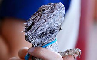 Бесплатные фото игуана,ящерица,дракон,чешуя,ошейник,рука