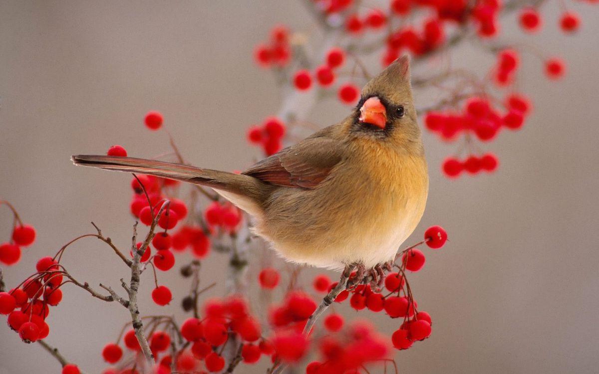 Фото бесплатно птичка, хвост, перья, хохолок, клюв, оранжевый, ветка, ягода, рябина, птицы