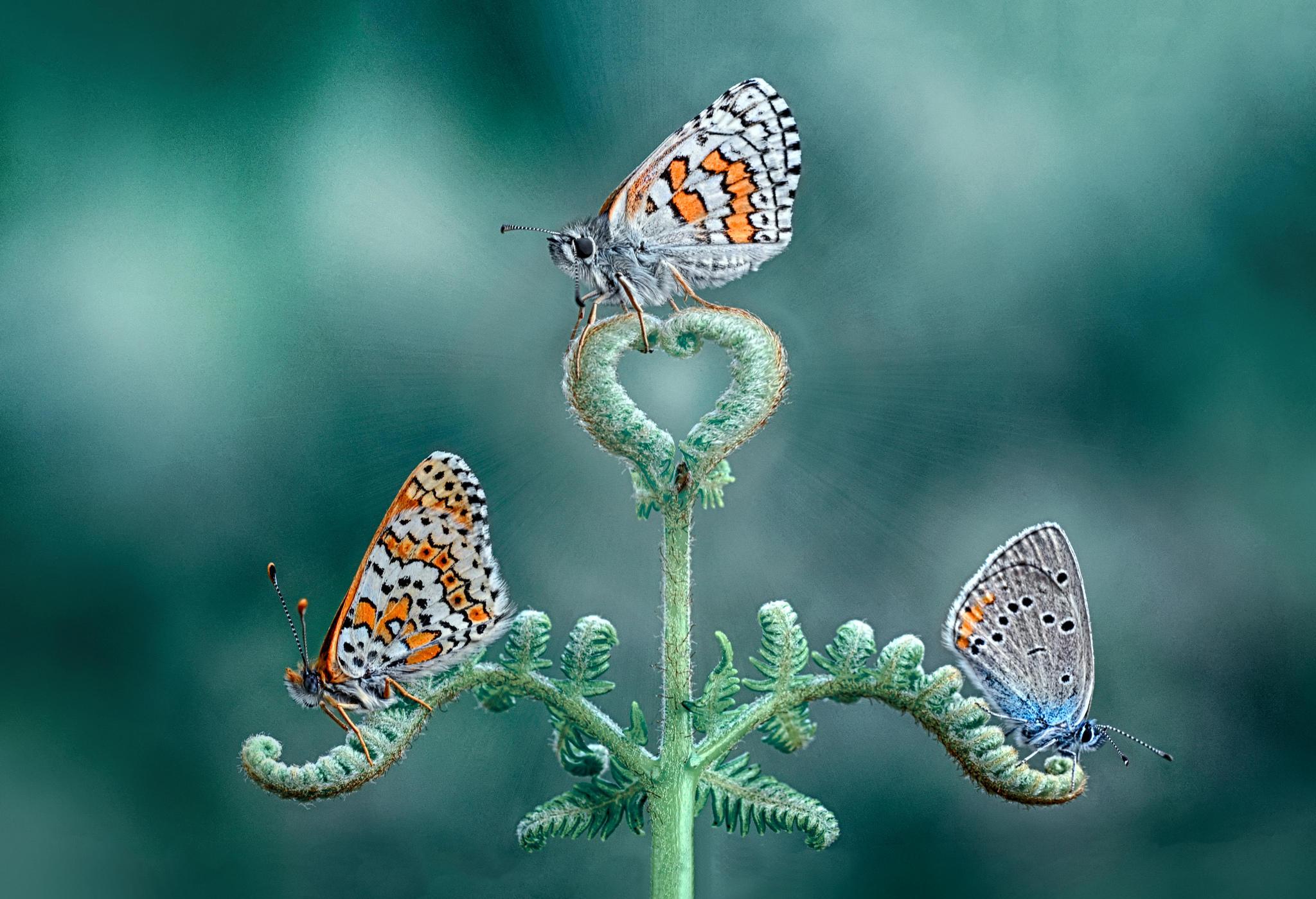 Обои цветок, бабочка, макро