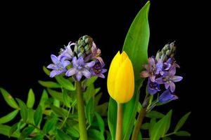 Фото бесплатно Гиацинт, тюльпан, чёрный фон