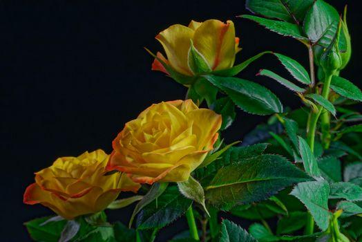 Фото бесплатно розы, цветы, флора