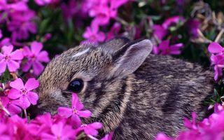 Заставки заяц, кролик, морда, уши, шерсть, цветы