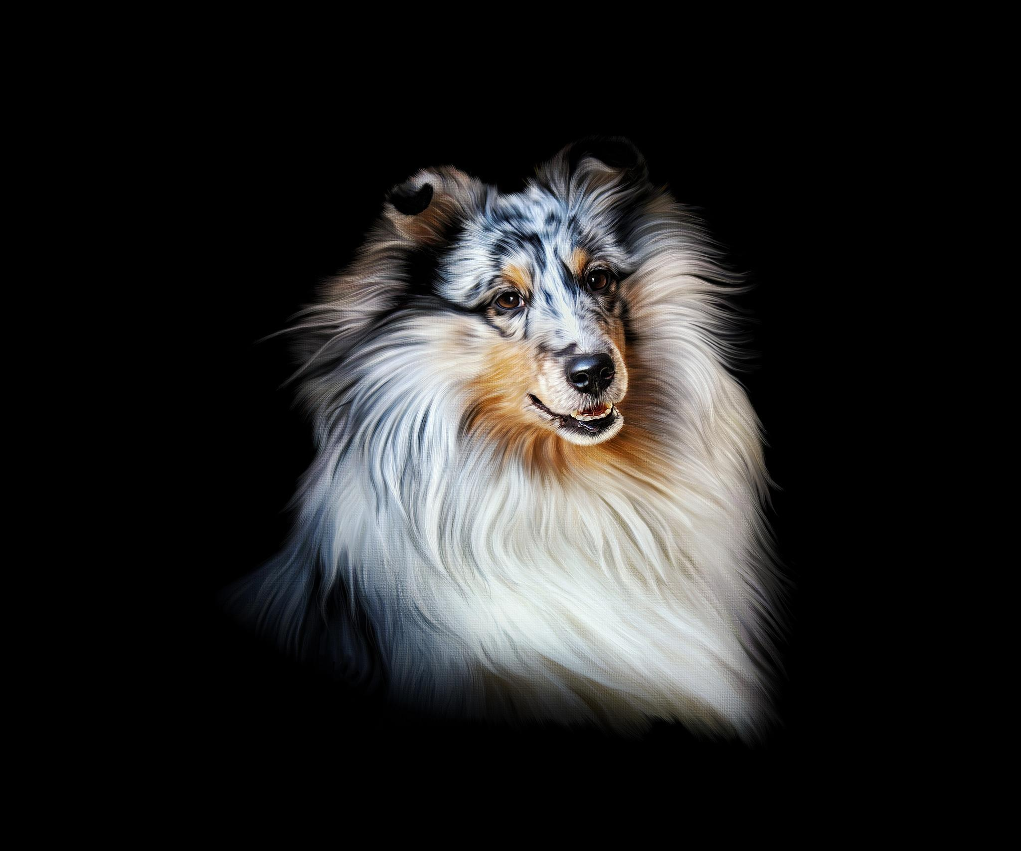 Обои портрет, собака, Колли, шотландская овчарка