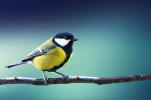 Фото бесплатно птица, синица, птица на ветке
