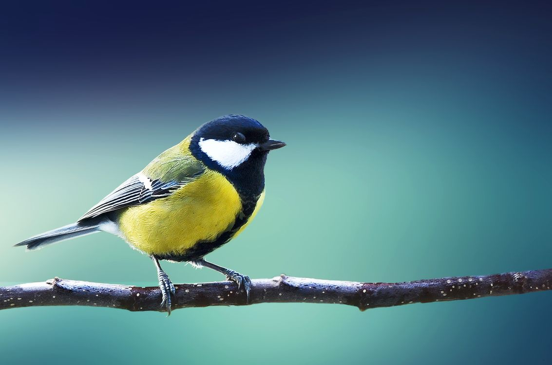 Фото птица синица птица на ветке - бесплатные картинки на Fonwall