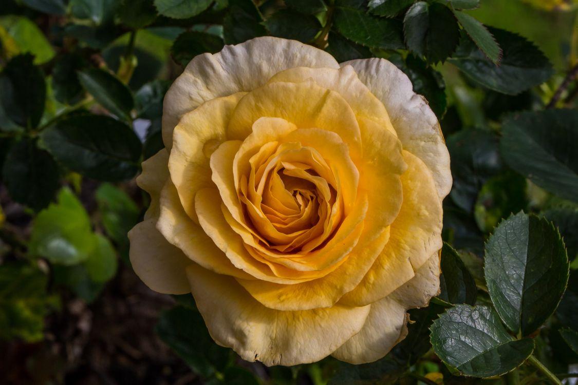 Фото бесплатно роза, розы, цветы, флора, цветы
