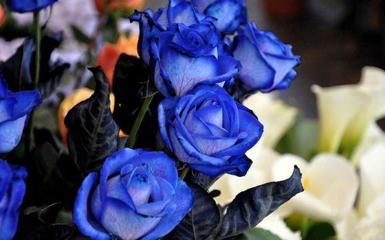 Фото бесплатно розы, синие, букет