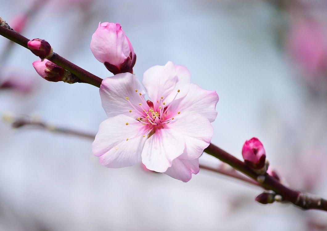 Фото бесплатно sakura, Cherry Blossoms, ветка, цветы, флора, весна, цветение, цветы