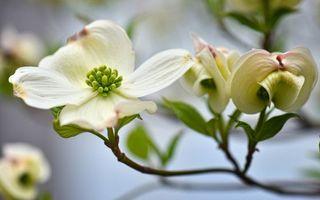 Заставки ветка,листья,зеленые,лепестки,белые,дерево,цветет