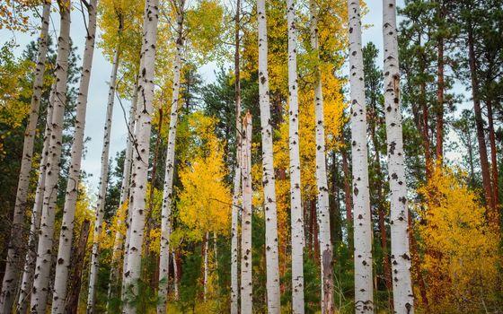 Photo free birch forest, birch, autumn