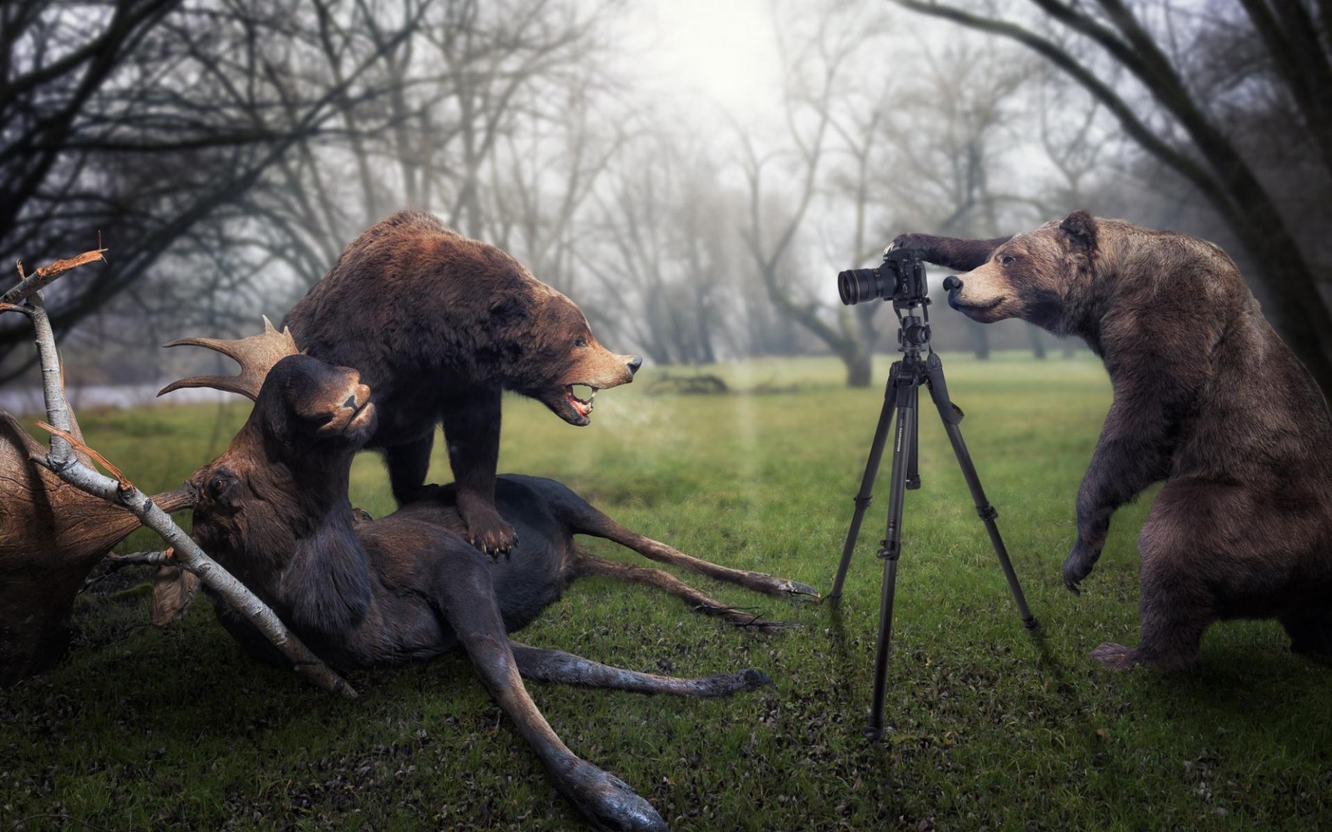 Обои медведи, лось, добыча, фотоаппарат