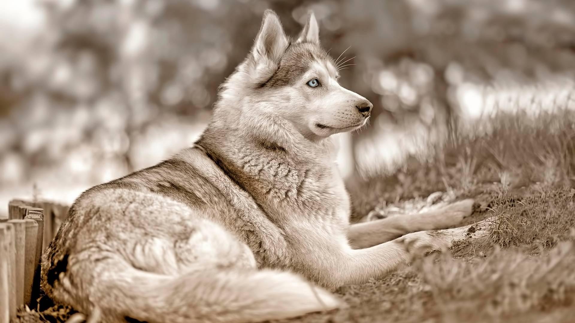 Обои пес, хаски, морда, глаза голубые