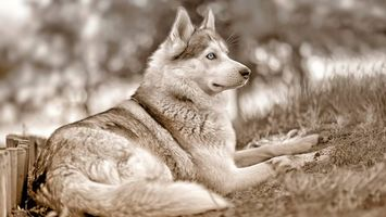 Бесплатные фото пес,хаски,морда,глаза голубые,лапы,хвост,шерсть