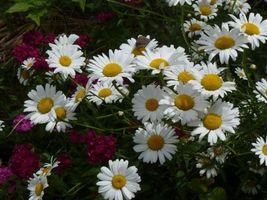 Бесплатные фото ромашки,цветы,флора