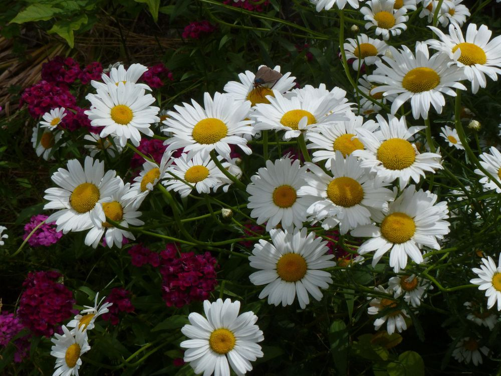 Скачать флора, фото ромашки с сайта fonwall