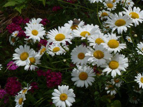 Фото бесплатно ромашки, цветы, флора