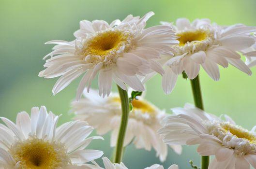 Фото бесплатно герберы, лепестки, белый