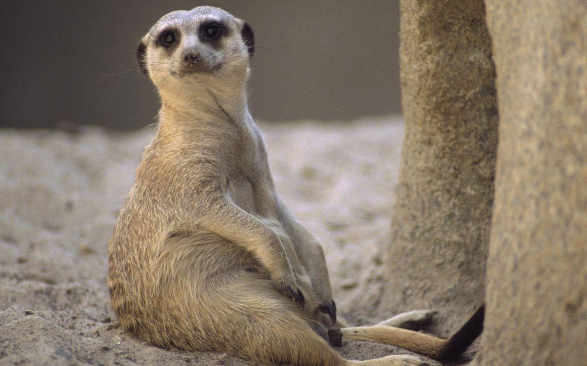 Фото бесплатно сурикат, сидит, морда, лапы, хвост, шерсть, песок, животные