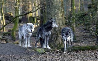 Бесплатные фото волки,морды,лапы,шерсть,лес,деревья