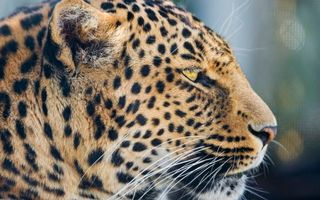 Photo free muzzle, leopard, ears