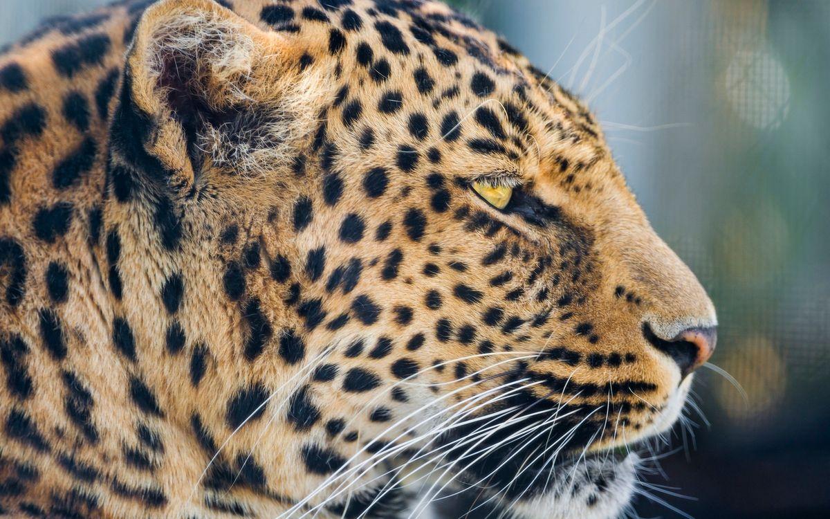 Фото бесплатно морда, леопард, уши - на рабочий стол