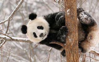 Бесплатные фото панда,бамбуковый медведь,дерево,ветви,зима,снег