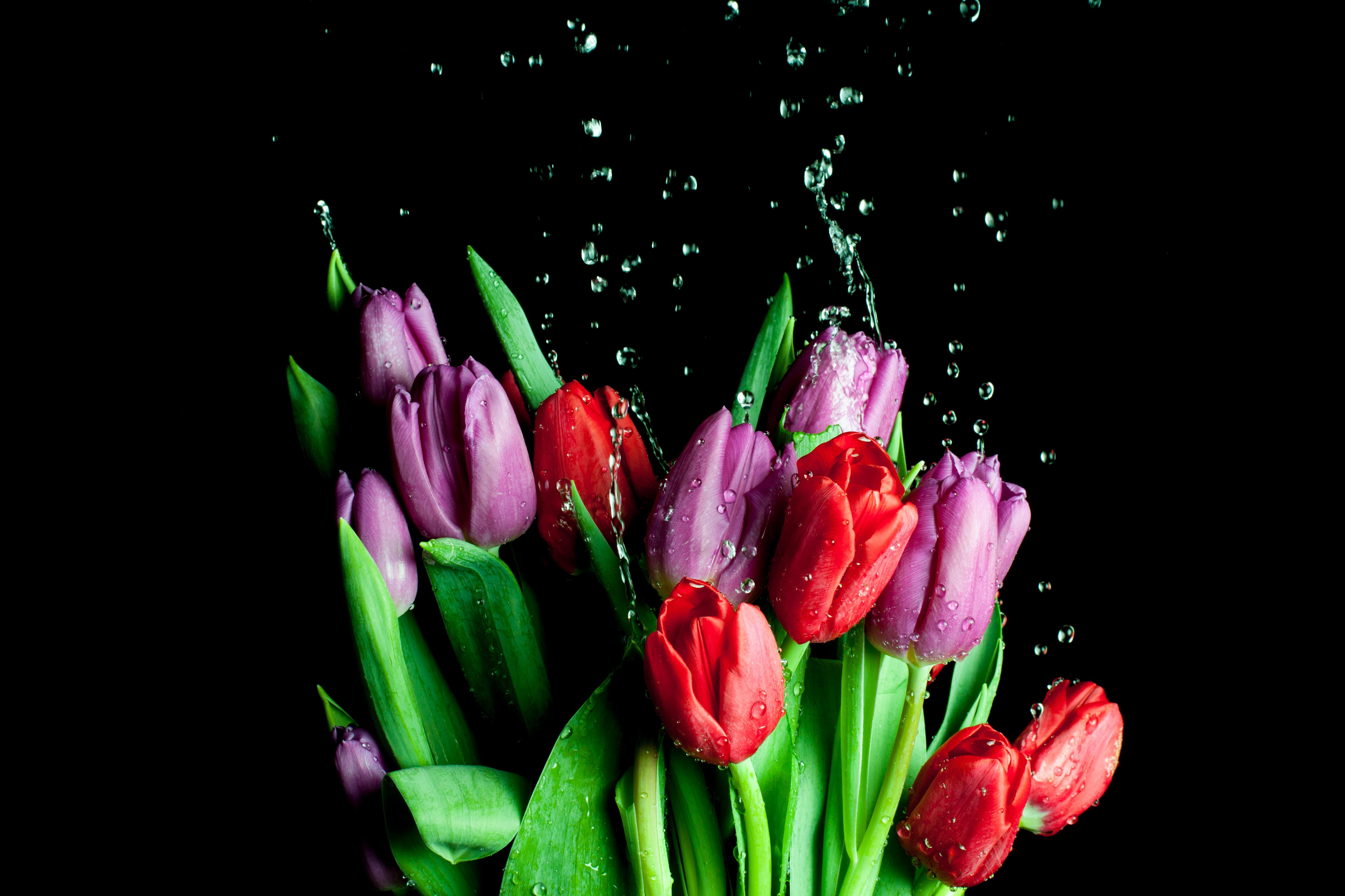 Тюльпаны на темном фоне картинки