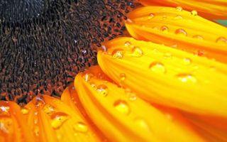Бесплатные фото подсолнух, лепестки, желтые, семечки, капли, вода, роса